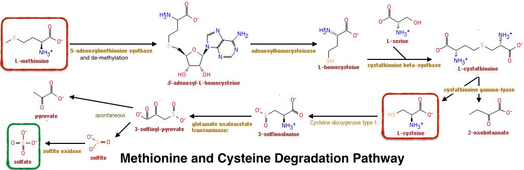 Methionine and Cystine Degradation Pathway